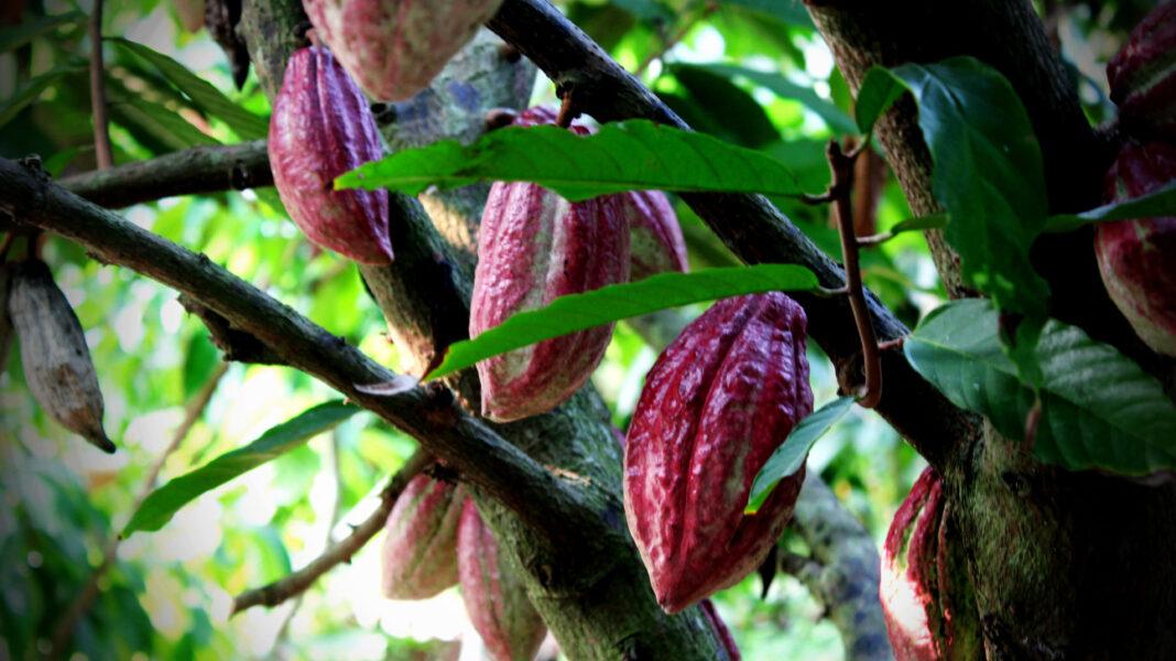 sporoi kakao