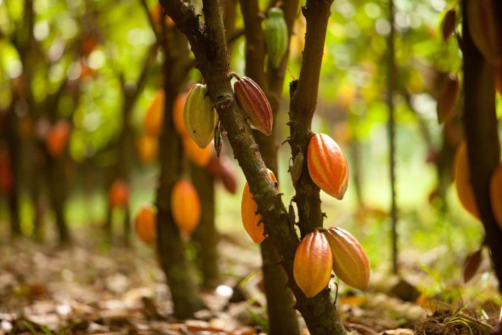 kakaodentra dasos